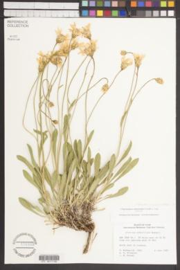 Stenotus armerioides var. armerioides image