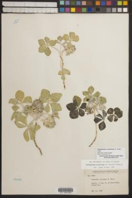 Pediomelum castoreum image