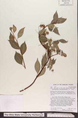 Lysimachia waianaeensis image