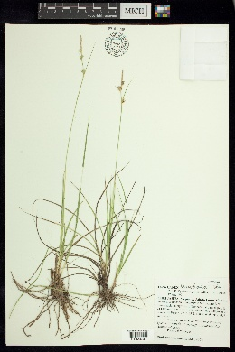Carex leucodonta image