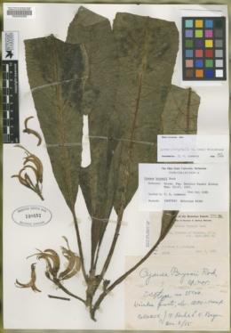 Image of Cyanea bryanii