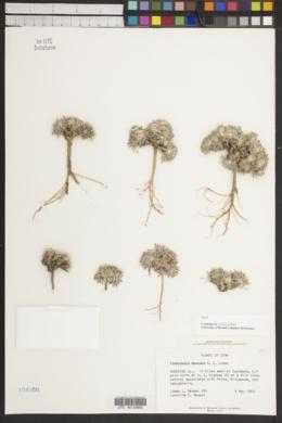 Townsendia mensana image