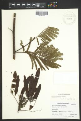 Image of Mimosa myriadenia