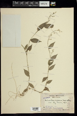 Image of Ichnanthus axillaris