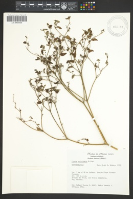 Croton trinitatis image