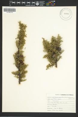 Image of Cupressus pygmaea