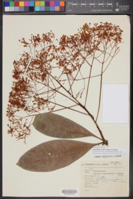 Image of Synardisia venosa