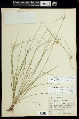 Image of Rhynchospora floridensis