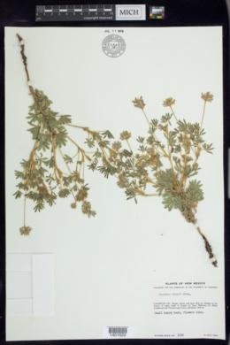 Lupinus kingii image