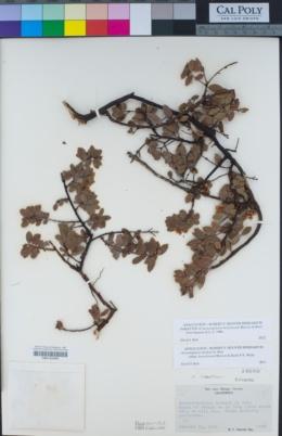 Arctostaphylos hearstiorum image