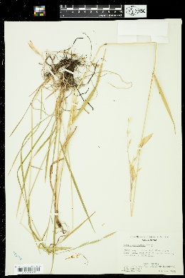 Bromus suksdorfii image