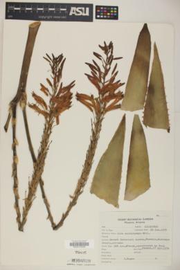 Aloe perfoliata image