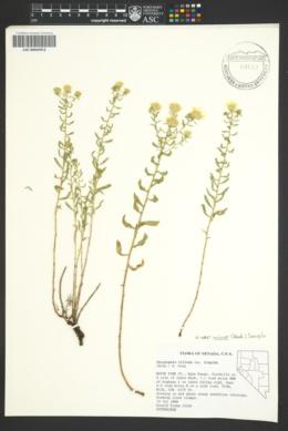 Heterotheca villosa var. minor image