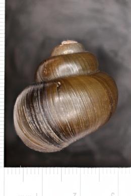 Viviparus intertextus image