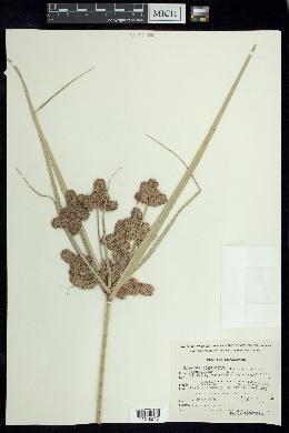 Cyperus ligularis image