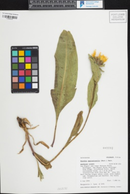 Wyethia amplexicaulis image