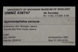 Gymnocephalus cernuus image