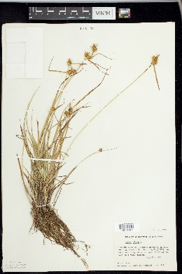 Carex flava image
