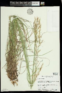 Bromus erectus image