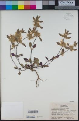 Acanthomintha lanceolata image