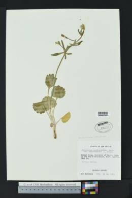 Image of Ranunculus coloradensis