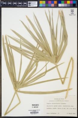 Image of Cyperus alternifolius