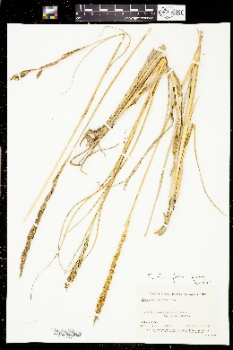 Image of Spartina densiflora