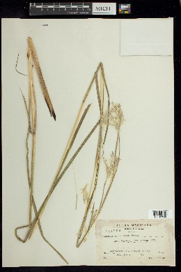 Image of Andropogon bourgaei