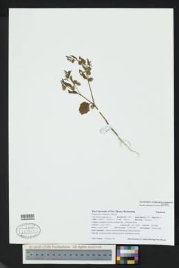 Physalis solanacea image
