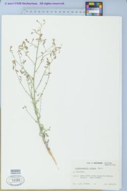 Image of Stephanomeria cichoriacea