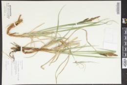 Carex angustata image