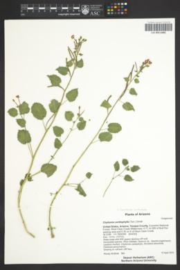 Image of Chylismia cardiophylla