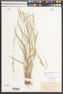 Brachypodium rupestre subsp. caespitosum image
