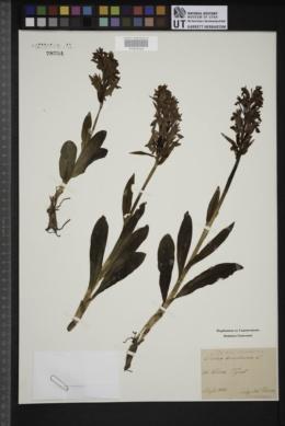 Dactylorhiza romana image