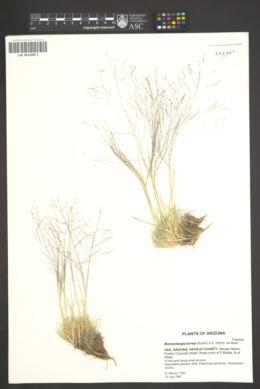 Muhlenbergia torreyi image