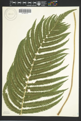 Thelypteris puberula image