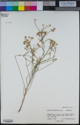 Baccharis brachyphylla image