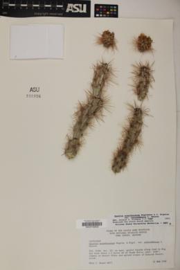 Cylindropuntia acanthocarpa image