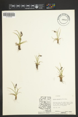 Luzula spicata image