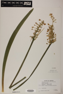 Ophiopogon jaburan image