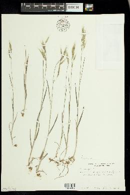 Bromus racemosus image