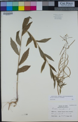Image of Boechera canadensis