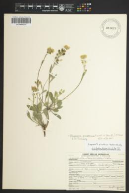 Physaria pinetorum image