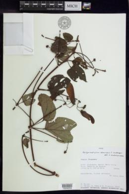 Stigmaphyllon aberrans image