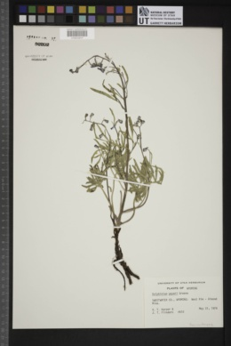Delphinium geyeri image