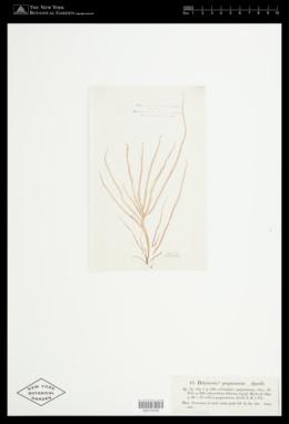 Halymenia purpurascens image