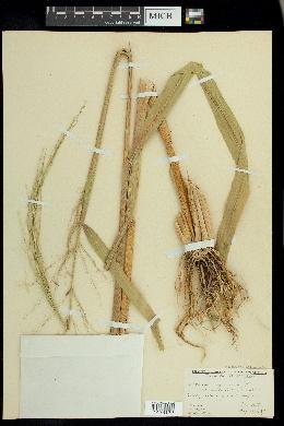 Zizania palustris var. interior image