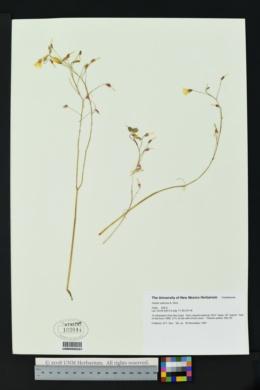Image of Oxalis radicosa