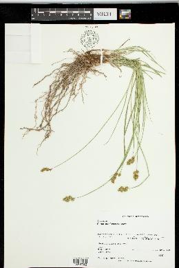 Carex subfusca image