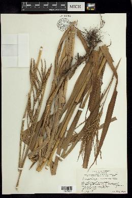 Image of Paspalum fasciculatum